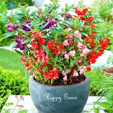 GARDEN BALSAM DWARF MIX 200 seeds - Impatiens Balsamina - Bush Flowered compact