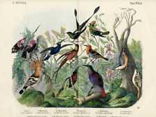 1868 HANSELMANN HC LITHO hummingbirds, hoopoe, sunbird, topaz, sicklebill, ...