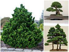 10 seeds of Chamaecyparis obtusa,False Cypress, bonsai seeds  C