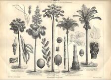 Stampa antica PIANTE di PALMA Tav. 1 PALM botanica 1890 Old antique print