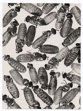 PHOTO ANCIENNE Insecte Gros plan Larve abeille Guêpe Curiosité Mouche CNEN 1960