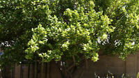 6 KEY LIME TREE THORNLESS VARIETY CUTTINGS CITRUS GREAT FOR KEY LIME PIES!!!!!!!