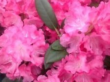 Rhododendron 'Polaris' 20-30cm Tall In 1.5L Pot, Stunning Flowers