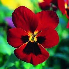 20 Viola Cornuta Flowered( Arkwright Ruby) Seeds
