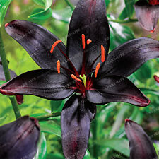 Lily Red Black Flower  Bulbs (Not Lily Seeds) -5 Bulbs