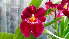 Miltoniopsis B.S. With 3-2 new growth. Strongly Fragrant orchid. Surpire.
