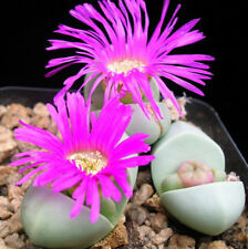Stone Plant Seed Argyroderma pearsonii Arid Living Small Succulent Magenta Flwer