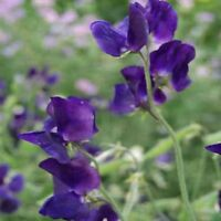 Sweet Pea- Royal Navy Blue- (Lathyrus Odoratus)- 15 Seeds -