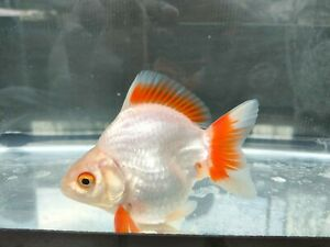 Live Goldfish Ryukin flame tail size 3 inc male from Thailand good health