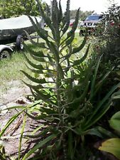 """(5) Small 3-6"""" Mother of Millions Succulent Plants Rooted Kalanchoe, Bryophyllum"""