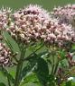 VALERIANA MEDICINAL Valeriana officinalis 500 Semillas
