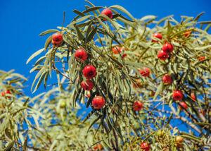 GUT exotische Baum Rarität Saatgut seltene Garten Balkon Pflanze SANDELHOLZ