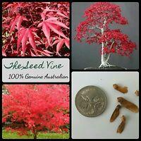 10+ JAPANESE RED LEAF MAPLE SEEDS (Acer palmatum Atropurpureum) Autumn Bonsai