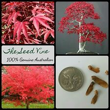 10+ JAPANESE RED LEAF MAPLE SEEDS (Acer palmatum Atropurpureum) Autumn Bonsai
