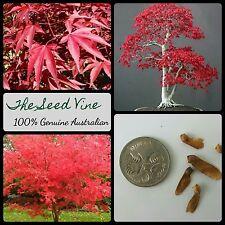 10+ JAPANESE RED MAPLE SEEDS (Acer palmatum Atropurpureum) Autumn Bonsai Garden