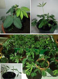 Die schöne Zimmerpflanze Mimose verbessert das Raumklima ! Zimmerpflanzen