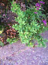 2 Stück Buchsbaum buschig für Formschnitt geeignet - wintergrün