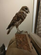 Vintage Laughing Owl Taxidermy on Wood Log