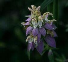 50+ Monarda Spotted Bee Balm Flower Seeds / Deer Resistant Perennial / Gift