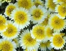 Tidy Tips Flower 100 Fresh Seeds Free Shipping