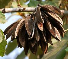 7 Semillas  KANAK  Pterospermum Acerifolium - árboles Jardín - Garden Samen Semi