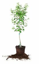 Anna Apple Tree, Live Plant, Size: 5-6 ft.