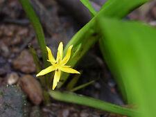 Curculigo orchioides - Golden Eye Grass - 10 Seeds