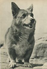 Pembroke Corgi Dog Vintage 60 year-old Full Page Photo Print