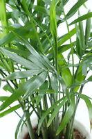 ** die Pembapalme  die grünen Palmen-Blättern dekorative Palme Zimmer - Samen.