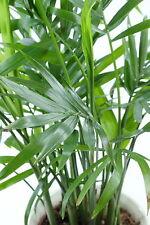 mit ihren gebogenen Palmen-Blättern dekoriert die Pembapalme jeden Raum perfekt.
