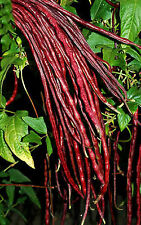 Chinese Asparagus Yard Long Pole Bean Red Noodle 25 SEEDS High Yields Stringless