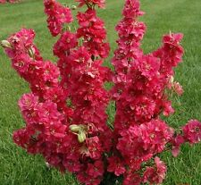 Seeds Delphinium Red King Flower Giant Annual Outdoor Garden Cut Organic Ukraine