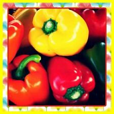 Bell Pepper Temperate Climate Vegetable Plant Seeds