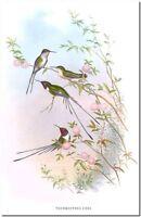 "Vintage Hummingbird Art John Gould CANVAS PRINT~ Cora  36x24"""