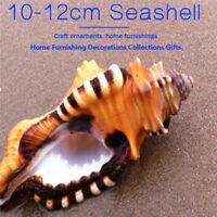 10-12cm Géant Conque Marin Mer Naturel Tridacna Gros Coquillages Décor Masion
