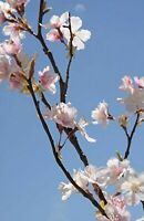 """Cherry Blossom Branches Tall Silk Pink 42"""" (3 Branches)"""