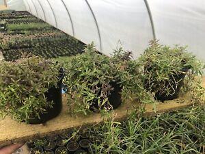 Garden Ready Dianthus Deltoides ' Pink X3 11cm Pots Hardy Perennials