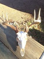 EUROPEAN SKULL BLEACHING(whitening) KIT deer, elk, mount,no skull included