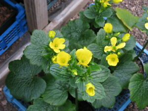 extremely rare buttercup -- ranuculus cortusifolius -- 10 seeds