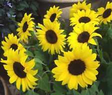 SUNFLOWER LEMON QUEEN Helianthus Annuus - 200 Bulk Seeds