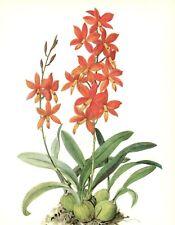 Antique Botanical ORCHID Print Red Flower Art Cottage Decor  Epidendrum 3373-82