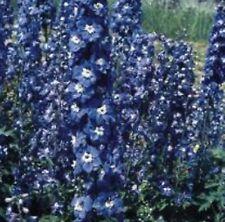 6 Delphinium hyb 'BLUEBIRD' MEDIUM PLUG PLANTS