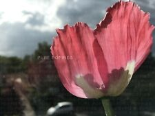 "PAPAVER SOMNIFERUM ""EXOTIC MIX"" AFGAN BLUE/PERSIAN WHITES/ IZMIR/ GIGANTIUM/ BFG"
