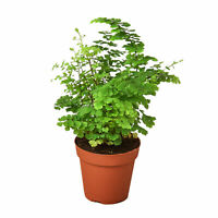 "Maidenhair Fern - 4"" Pot"