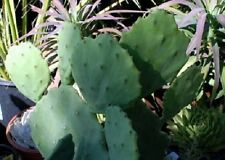 2 Med to Lg Pads 'Old Mexico' Spineless Edible prickly pear Cactus Opuntia~Hardy