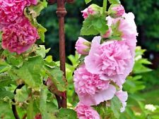 HOLLYHOCK 'Summer Carnival Mix' 50 seeds cottage flower garden stock rose mallow