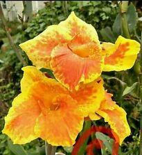 2 Bulbs tall Yellow King Humbert Flower Canna Lilly Yellow Red Orange Rhizomes