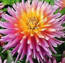 Semi Cactus Dahlia 'Star's Favourite' W.P.C. Prins Quality Bulbs & Tubers