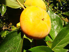 Sharon Fruit Tree Japanese Persimmon DIOSPYROS KAKI, sweet, large fruits, hardy