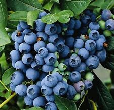 Blueberry Berkeley 9cm Pot Edible Blue Berries Bush Soft Fruit Shrub Super Fruit
